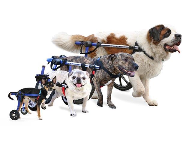 دیسپلازی لگن سگ